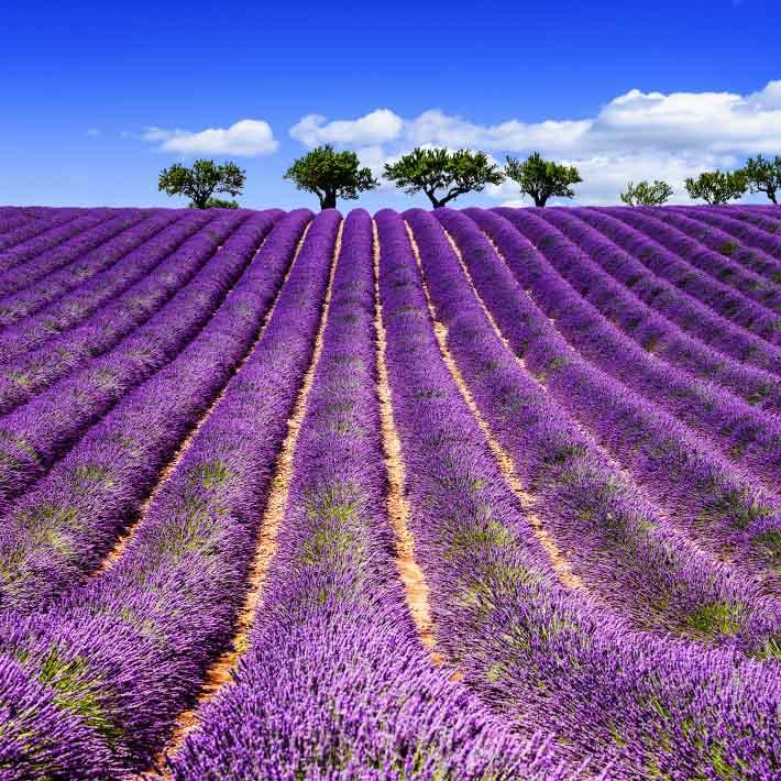 france_provence_lavenderr_field