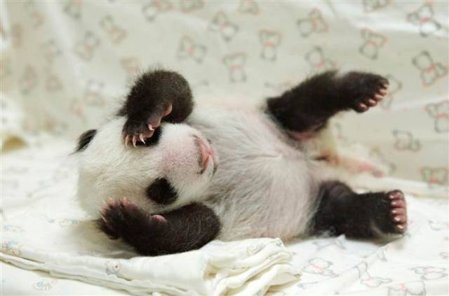 6C8615439-tdy-130813-baby-panda-05.today-inline-large