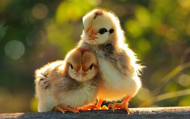 Chicks-Wallpapers-1-608x380