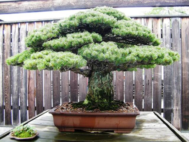 Old-Pinus-parviflora-japanese-white-pine-bonsai