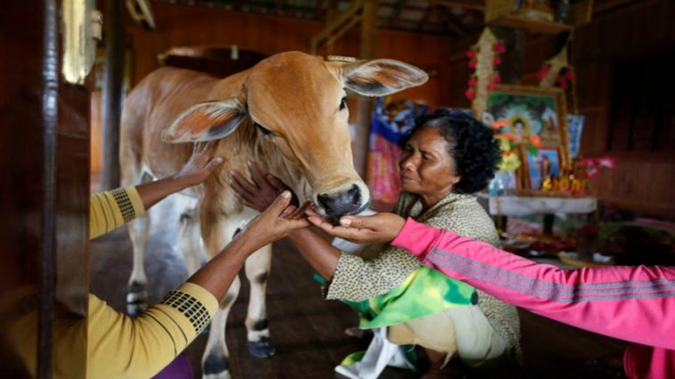 Woman Marries Cow