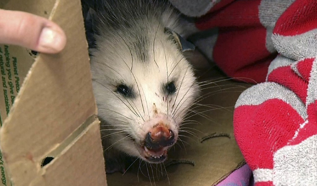 Drunk Opossum Found Heavily Intoxicated